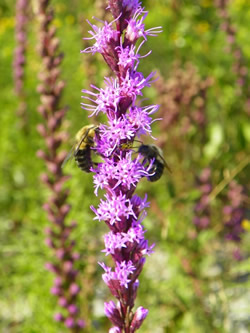 Going Green Publications...Liatris